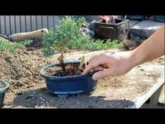 How to Grow Bonsai Trees : How to Make your Own Bonsai : Bonsai Lessons for Beginners - YouTube