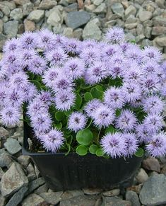 Picture of Globularia incanescens Alpine Garden, Purple Garden, Woodland Garden, Purple Flowers, Perennials, Pictures, Image, Annie, Rocks