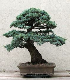 Product Type: Bonsai Use: Outdoor Plants Cultivating Difficulty Degree: Regular Classification: Happy Farm Full-bloom Period: None Type: Foliage Plants Flowerpot: Planted with Pot Location: Courtyard