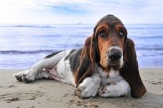 picture of puppy purebred basset hound on a beach Stock Photo - 12603481