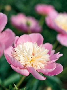"""""""Bowl of Beauty"""" Peony     Bowl of Beauty  A cheery heirloom selection from the 1940s, 'Bowl of Beauty' offers a cup of pink petals surrounding a creamy center."""