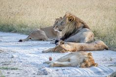 Buy Pride of Lions laying in the sand. by Simoneemanphotography on PhotoDune. Pride of Lions laying in the sand in the Chobe National Park, Botswana. Chobe National Park, National Parks, Lion Family, Lion Pride, African Safari, Big Cats, Savannah Chat, Mammals, Lions