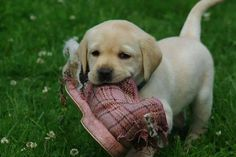 This little Labrador Retriever pup has a present for you, and yes, it is a shoe. Who doesn't love an old shoe?