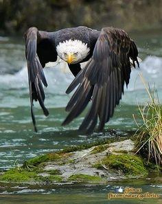 Balded eagle in flight