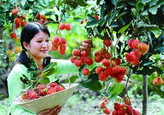Vietnam is known for being a country rich in tropical fruits. The fruit orchard wrongly became a familiar and beautiful image of vietnam in. Vietnam Tourism, Vietnam Travel, Saigon Vietnam, Can Tho, Mekong Delta, May Bay, Unique Architecture, Travel Magazines, Tropical Fruits