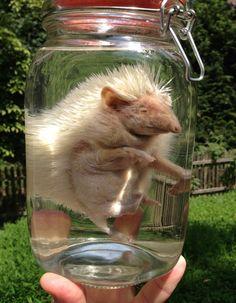 Albino Hedgehog in a Jar Preserved Wet by BlackBearBathSalts
