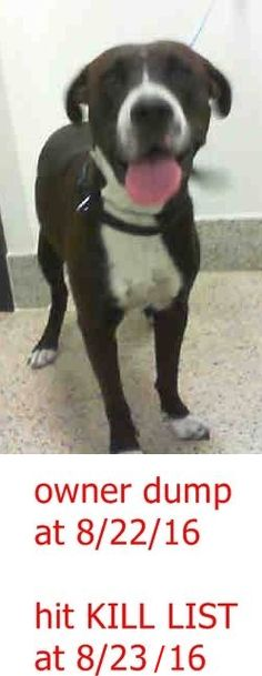 DIXIE (A1797685) I am a female chocolate and white Labrador Retriever mix. The shelter staff think I am about 1 year and 1 month old and I weigh 59 pounds. I was turned in by my owner and I am available for adoption. Miami Dade https://www.facebook.com/urgentdogsofmiami/photos/a.1067105343323868.1073742077.191859757515102/1268211876546546/?type=3&theater