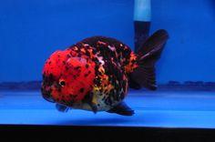 Goldfish Aquarium, Goldfish Tank, Ocean Aquarium, Freshwater Aquarium Fish, Aquarium Ideas, Lionhead Goldfish, Koi Betta, Beautiful Fish, Sea Fish