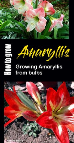 Growing Amaryllis from bulbs | How to growAmaryllis in acontainer Amaryllis Care, Amaryllis Plant, Amaryllis Bulbs, Growing Flowers, Growing Plants, Planting Flowers, Flowering Plants, Flower Gardening, Inside House Plants