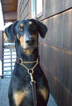 Chain martingale leather dog collar - Custom made