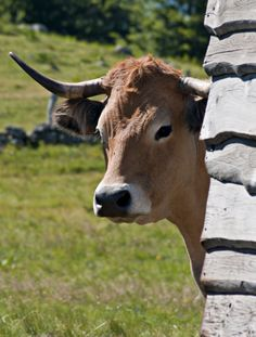 Aubrac - Cow d'Auvergne - Cantal dept. - Auvergne region, France ......estimaorg.com