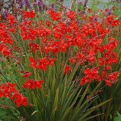 CROCOSMIA 'Twilight Fairy Crimson' (Montbretia) : Souche bulbeuse. Feuillage rappelant le glaïeul. Se développe en fortes touffes. Excellentes fleurs à couper. Touffe compacte. Feuillage vert bronze offrant un très beau contraste avec la floraison rouge vif.