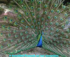 Ocho Rios, Jamaica Ocho Rios, The St, Jamaica, Travel Photos, Peacock, Birds, River, Island, St Louis