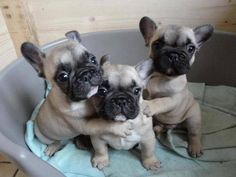 Three adorable little French Bulldog puppies. Limited Edition French Bulldog Tee http://teespring.com/lovefrenchbulldogs #Buldog