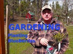GARDENING - Planting Blue Berries