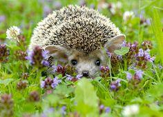 A Long-eared Hedgehog! Happy Hedgehog, Hedgehog Pet, Cute Hedgehog, Animals And Pets, Baby Animals, Funny Animals, Cute Animals, Unique Animals, Long Eared Hedgehog