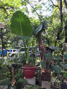 indoor plants can help reduce toxic pollutants: Best Indoor Plants, Outdoor Plants, Sick Building Syndrome, Ti Plant, Ficus Elastica, Raw Photo, Rubber Tree, Snake Plant, Photosynthesis
