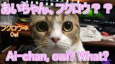 あいちゃん敏感フクロウ!【可愛い子猫のおもしろい動画】