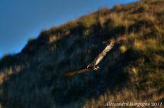 California condor (Gymnogyps californianus) – Condor della California – Point Reyes- California - U.S.A- / by Alessandro Borgogno
