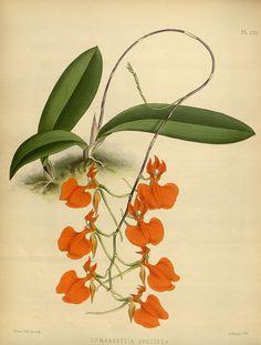jomobimo:  Plate 233, Orchid album :. London :B. S. Williams,1882-97