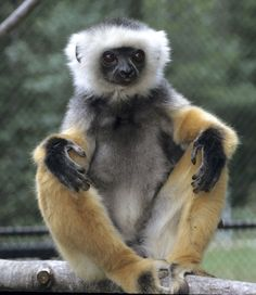 The Duke Lemur Center's only diademed sifaka died recently. :( Romeo was a beautiful animal!