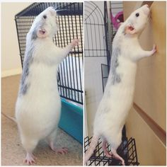 Pregnant with 13 vs now (9 weeks later) #aww #cute #rat #cuterats #ratsofpinterest #cuddle #fluffy #animals #pets #bestfriend #ittssofluffy #boopthesnoot
