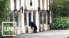 Chimpanzee Escapes Zoo Enclosure in Taipei