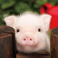 P'tit cochon rose!!!