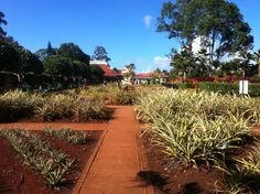 at the Dole Plantation Pineapple Garden
