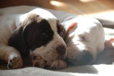 Nothing sweeter :) English pointer puppies