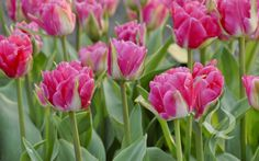 Double Late Tulip 'Pink Parfait' - Queen Flowerbulbs