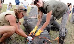 using technology to help keep rhinos alive and with their horns :)  way to go!