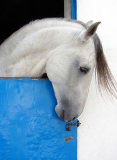 "Lusitano "" The Portuguese Horse Breed"""
