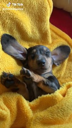 Page is dedicated to all Dachshund Addicts! Funny Dachshund, Dachshund Puppies, Weenie Dogs, Cute Dogs And Puppies, Hot Dogs, Funny Puppies, Mini Dachshund, Cute Puppy Videos, Cute Animal Videos