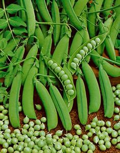 The Little Marvel Pea produces small bright green pods with luscious, sugary peas that stay tender and sweet even when fully ripe!