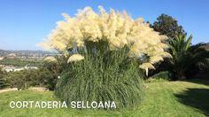 Cortaderia selloana.