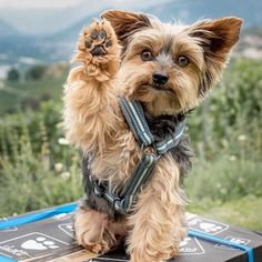 Yorkie Shout Outs — #Repost @swissyorkie ・・・ High five ✋ if you are...