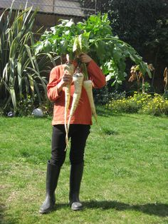 Mega Parsnips! Vigorous and productive with sweet, nutty flavor. Enjoy all year, store in the ground through the winter.