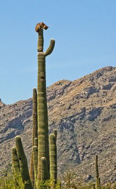 bobcat on saguaro cactus, Sabino Canyon - Arizona