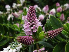 Hebe Garden Inspiration, Garden Ideas, Evergreen Shrubs, Garden Landscaping, Exotic, Landscape, Flowers, Plants, Trees