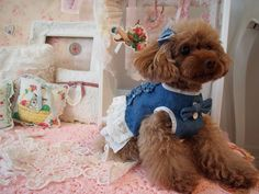 #Pardo#toypoodle#cute#girl#model#女の子#poodle#おしゃれ