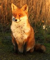 Image result for old fox Predator, Game Design, 2d, Character, Animals, Image, Animales, Animaux, Lettering