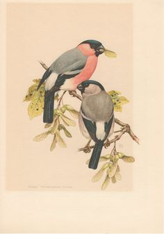 1956 The Bullfinch Antique Print Vintage Lithograph by Craftissimo, €12.95