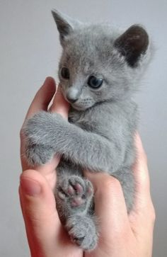 A Russian Blue kitten at 8 weeks.