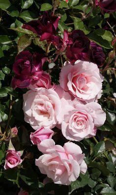 Floribunda Roses: 'Our Lady of Guadelupe' (U.S., 2000) with 'Burgundy Iceberg' (discovered in Australia, 1998)