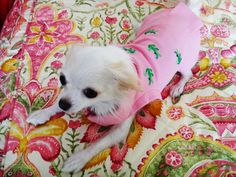 Minnie, my Chihuahua #PureJoy