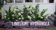 Hydrangea Paniculata, Plant Species, Outdoor Structures, Plants, Planters, Plant, Planting