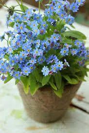 Forget me not, pretty blue flowers, lovely in any garden Shade Garden, Garden Plants, Decoration Plante, Forget Me Not, Dream Garden, Garden Inspiration, Dahlia, Container Gardening, Gardening Vegetables