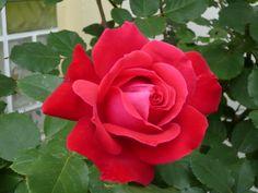 Schöne  Rose