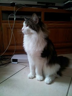 Big Maine Coon cat his name is Zeus:)